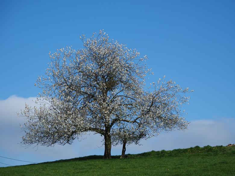 het is mei, de fruitbomen staan in bloei