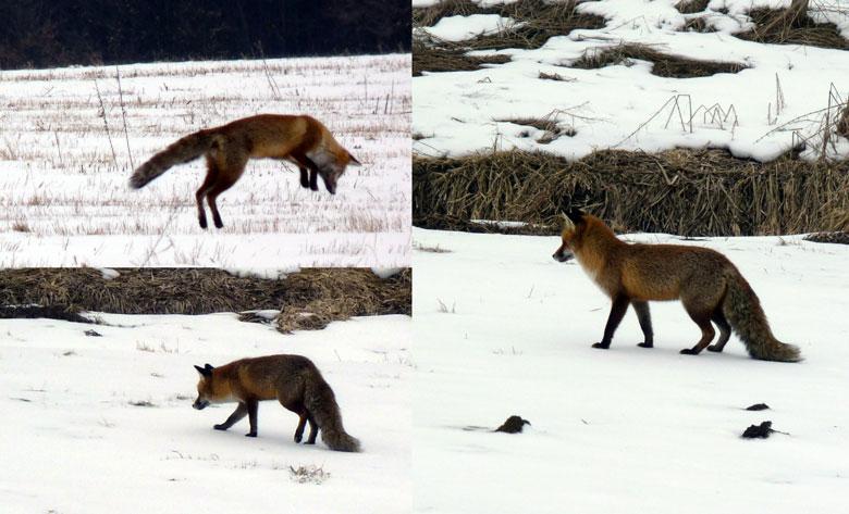 vossen in de velden op de terugweg naar Bad Schandau
