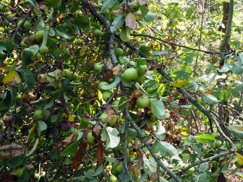 appels ter grote van pruimen