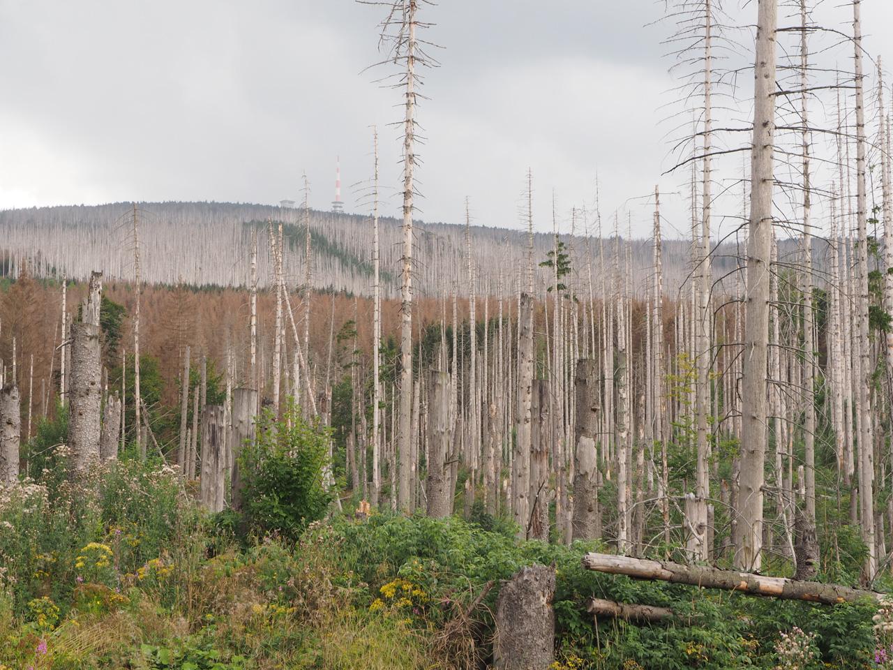 dode bossen op de berghelling van de Brocken