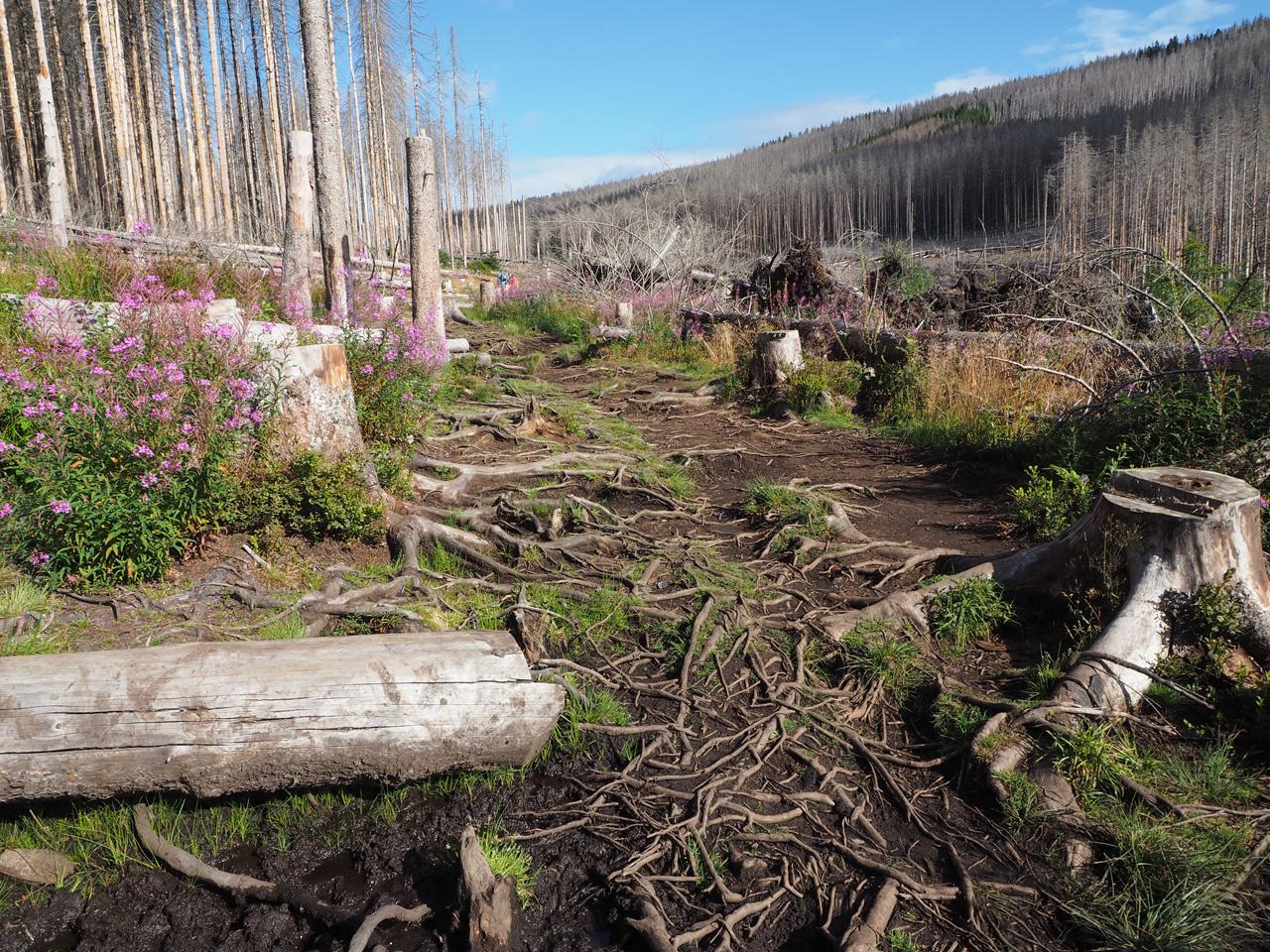 het stenen pad wordt een boomwortelpad