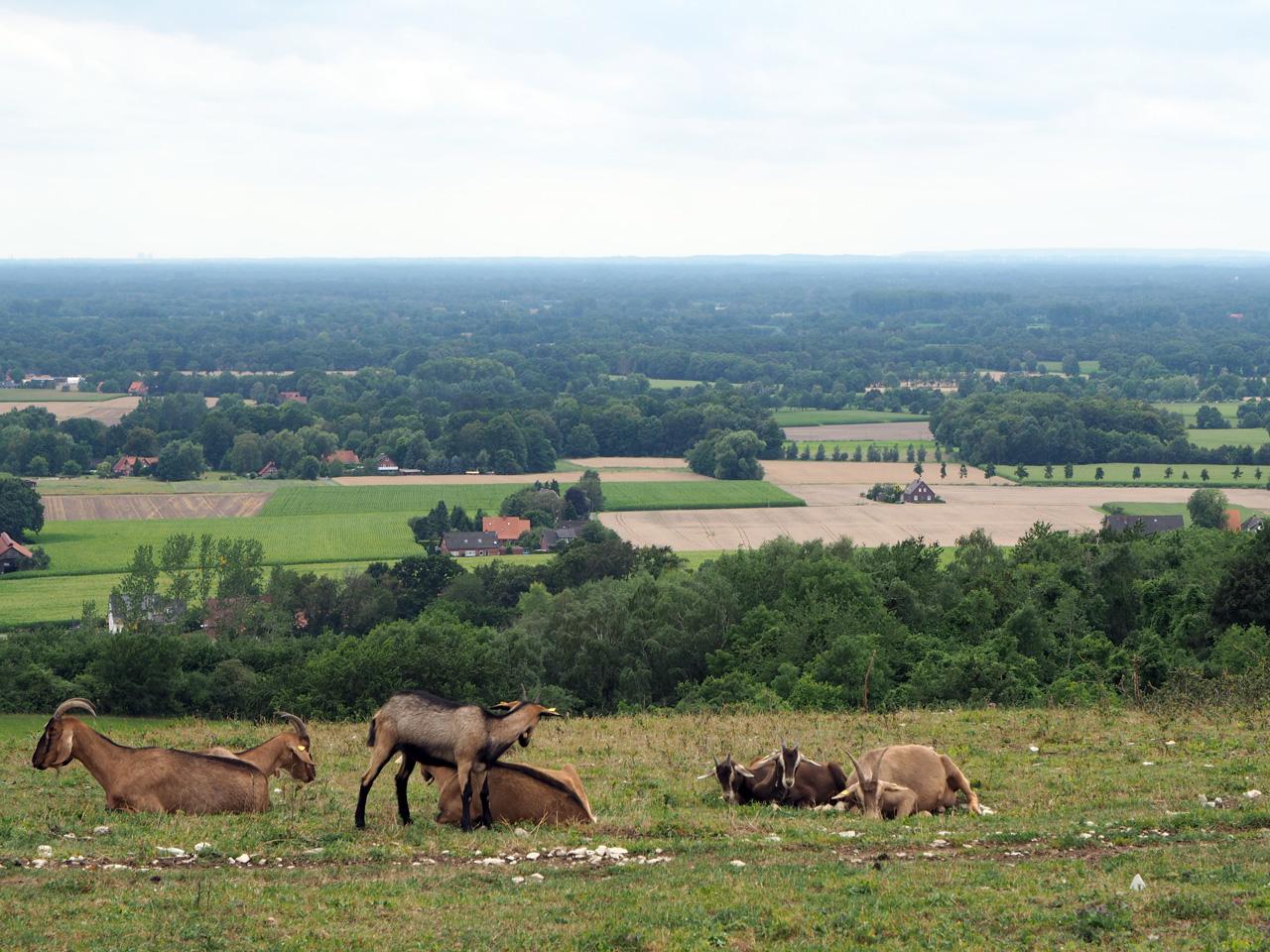 geiten op de bergweide