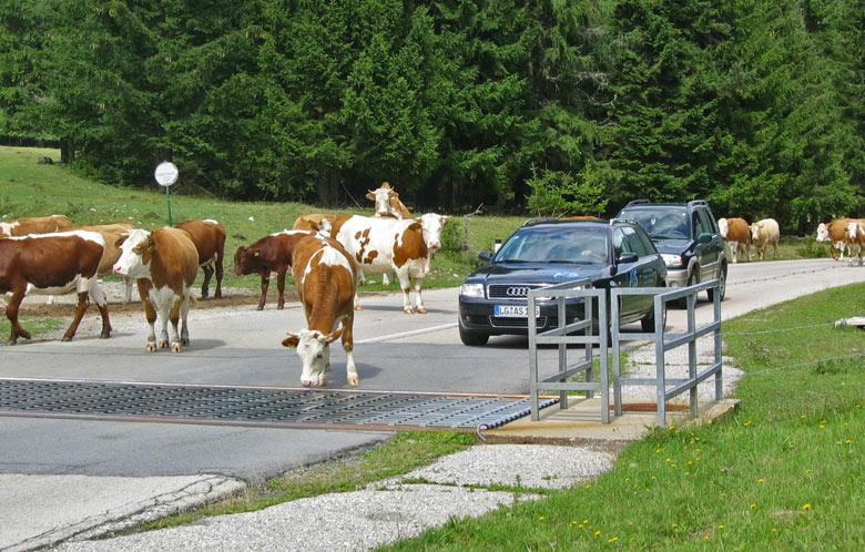 een kudde koeien op weg naar de boerderij