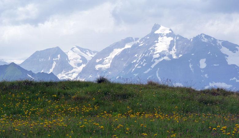 Alpenbloemen met de Grossglockner als achtergrond