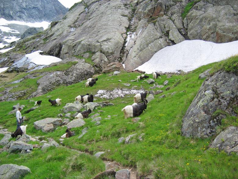 een grote kudde zwart/witte geiten