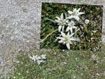 Edelweiss waar je ook kijkt...