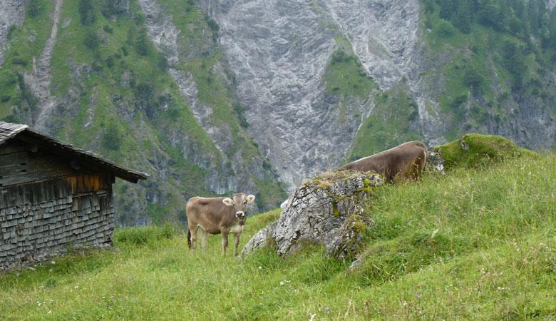 op de Rindereralpe worden we begroet door enkele koeien
