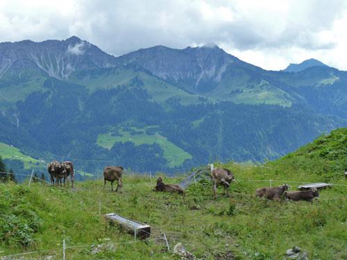 de koeien hebben een rustig plekje hoog op de berghellingen