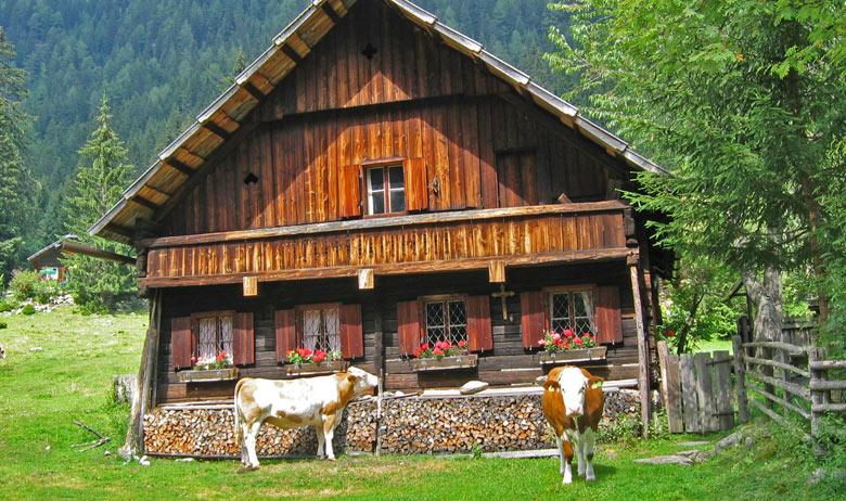 Wij betrapten deze koeien op het snoepen van de geraniums