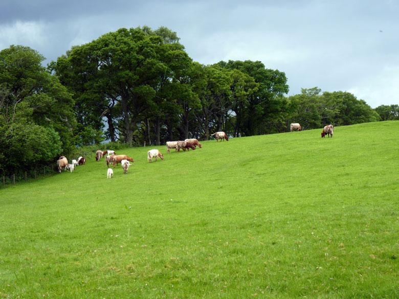 Schotse runderen, veel koeien hebben we in twee weken niet gezien