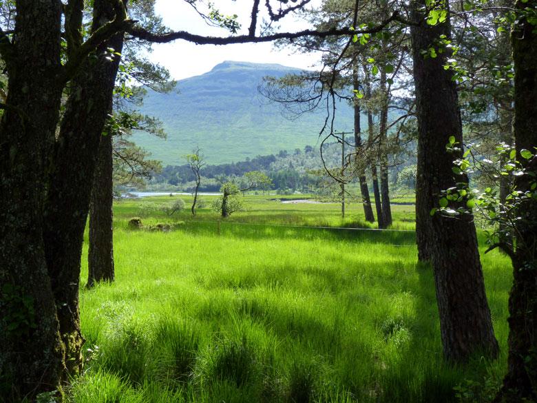 Schot Pine en ziverberk in een moerasig grasland