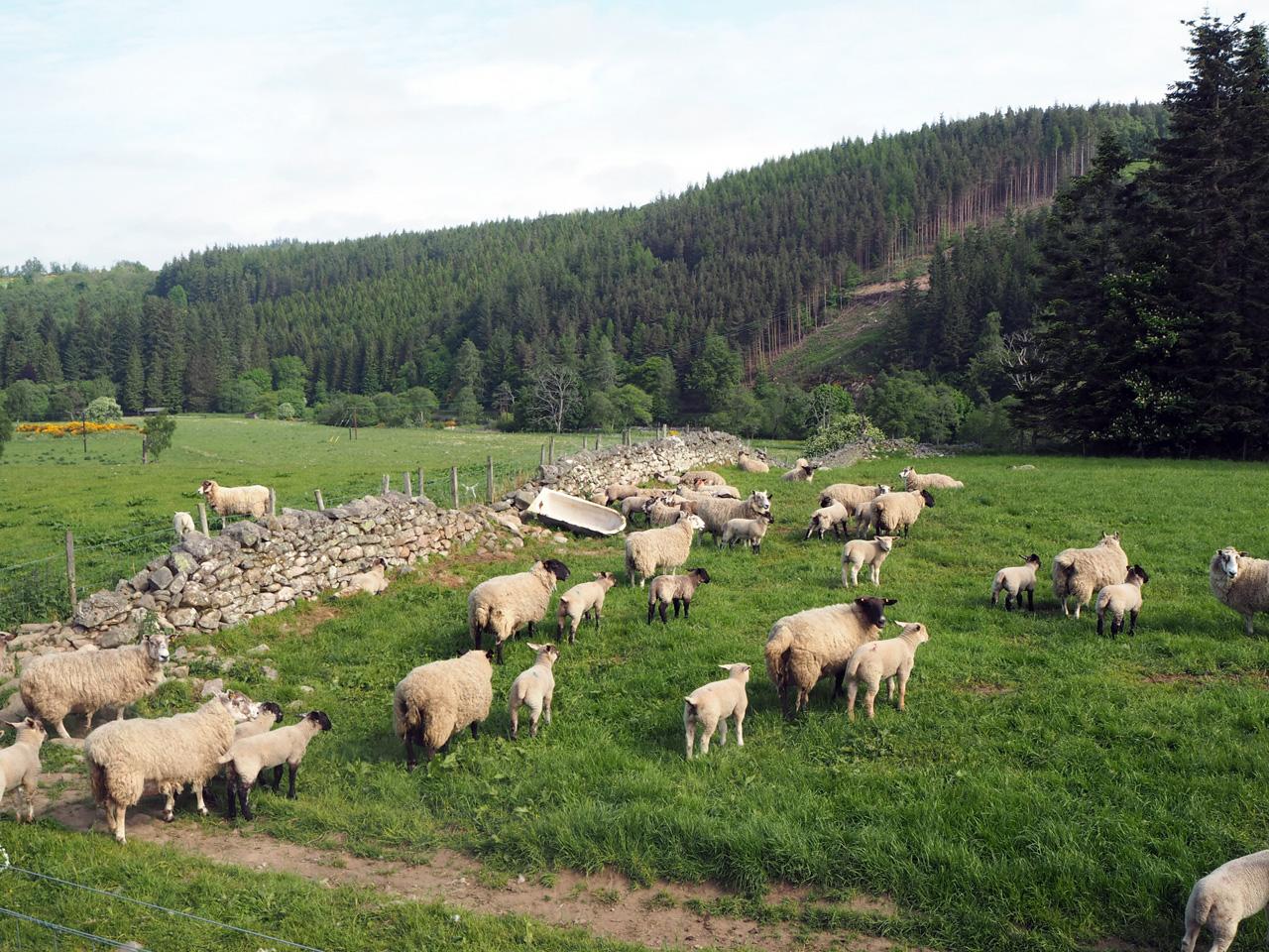 schapenwei met nog deels een oude gestapelde afrastering