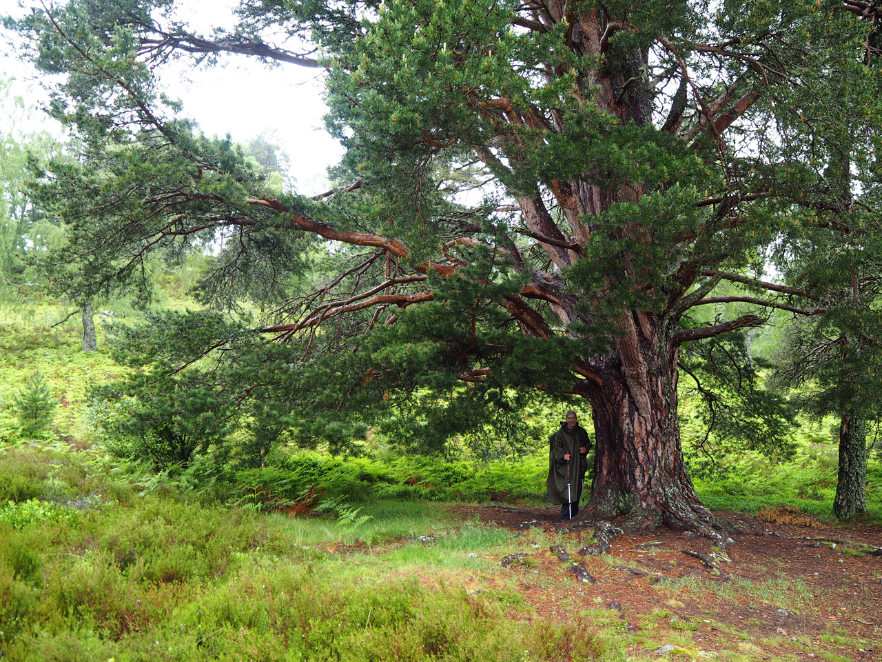 overal enorme Caledonian Pine Trees